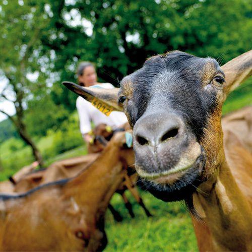 Reportage : dans les coulisses du fromage de chèvre - La Crèmerie Porcheret nous invite chez l'un de ses producteurs