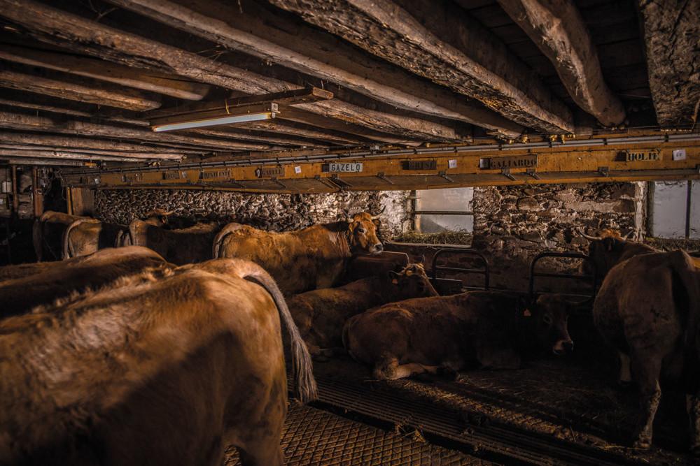 Le cheptel de Christian Bonal se compose d'environ 83 vaches fermières.