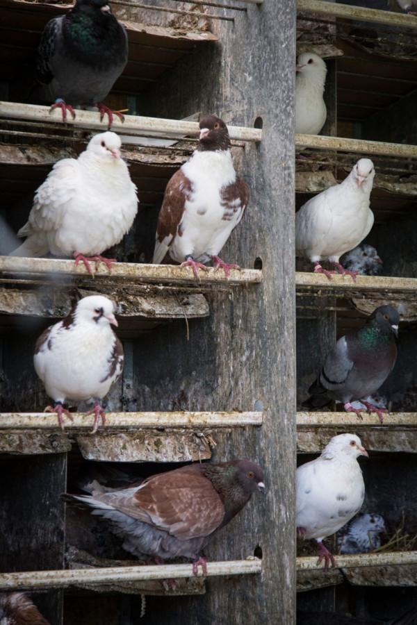 Les pigeons de Philippe Delaunay