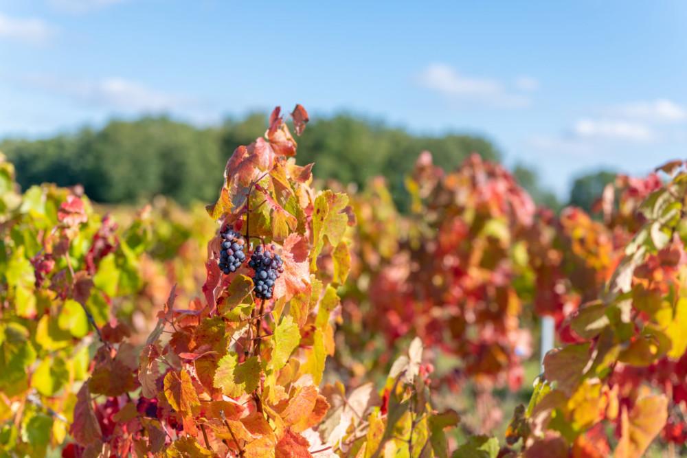 Vignes Négrette